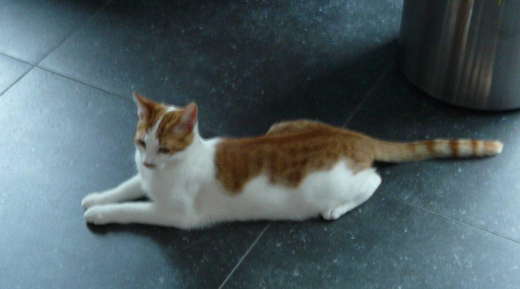 Rode kat in Sfynx pose