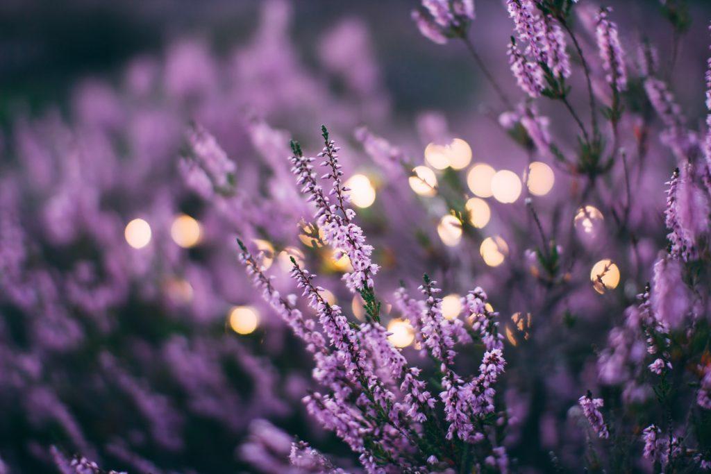 Lavendel plant